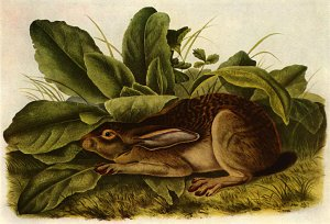 """Jack Rabbit"" BIG John James Audubon Art Print"