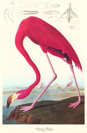 "Audubon ""American Flamingo"" Art Print Audubon Audubon"