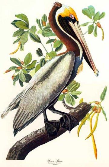 "John James Audubon ""Brown Pelican"" Art Print"