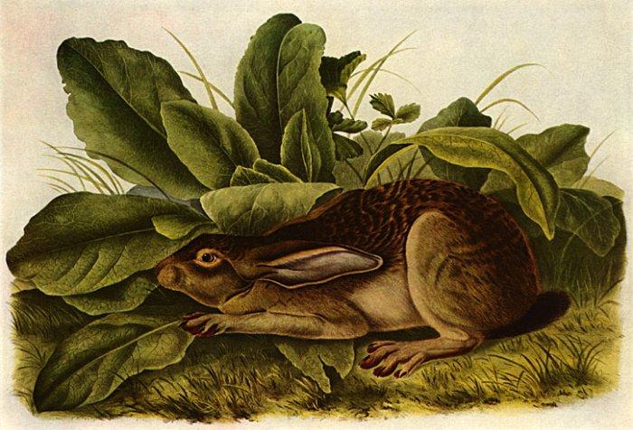 "John James Audubon ""Jack Rabbit"" Beautiful Art Print"