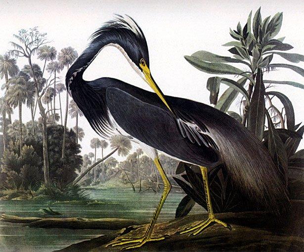 "John James Audubon ""Louisiana Heron"" Art Print"