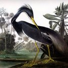 "John James Audubon ""Louisiana Heron"" Art Print"