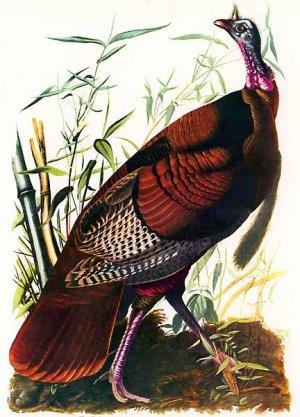 """John James Audubon """"Wild Turkey"""" Beautiful Art Print"""