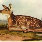 "John James Audubon ""White-Tailed Deer"" Art Print"