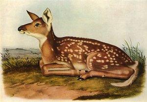 "John James Audubon ""White-Tailed Deer"" Art Print"