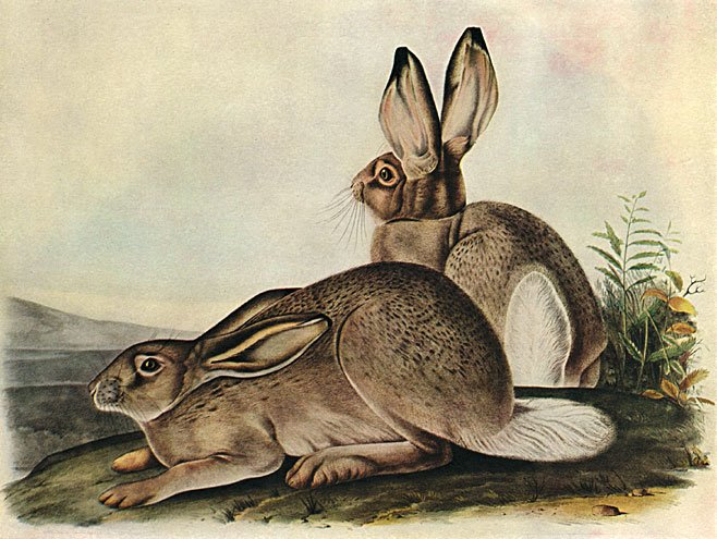 "John James Audubon ""White-Tailed Jack Rabbit"" Art Print"