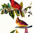 Cardinal bird birds Art Print by John James Audubon