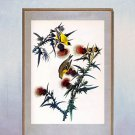 "John James Audubon ""Goldfinch"" Beautiful Art Print"