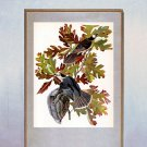 "John James Audubon ""Canada Jay"" Beautiful Art Print"