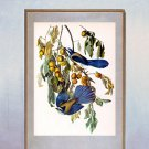 "John James Audubon ""Florida Jay"" Beautiful Art Print"