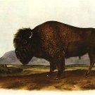 "John James Audubon ""American Bison"" Beautiful Art Print"