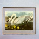 "John James Audubon ""Whistling Swan"" Beautiful Art Print"