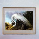 "John James Audubon ""American Egret"" Beautiful Art Print"