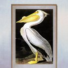 "John James Audubon ""White Pelican""  Beautiful Art Print"