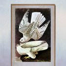 "John James Audubon ""Gyrfalcon"" Beautiful Art Print"