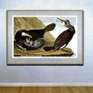 "Audubon ""Great Cormorant"" HUGE Elephant Folio Edition"