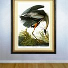 "Audubon Birds Of America ""Great Blue Heron"" HUGE Print"
