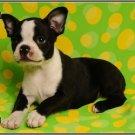 LP-2159 Boston Terrier Dog Pet Novelty License Plate
