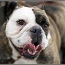 LP-2161 Bulldog Dog Pet Novelty License Plate
