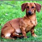 LP-2167 Dachshund Dog Pet Novelty License Plate
