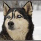 LP-2172 Husky Dog Pet Novelty License Plate