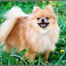 LP-2175 Pomeranian Dog Pet Novelty License Plate