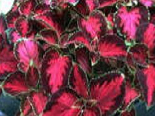 COLEUS SCARLET PONCHO amazing foliage shade 50 seeds