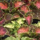 COLEUS CAREFREE MIX colorful shade plant 50 seeds