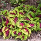 Coleus Wizard rose shade, basket, house plant 50 seeds