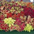 Dwarf COLEUS FAIRWAY MIX ground cover 50 seeds