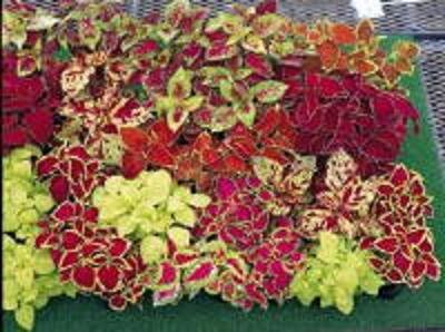 BULK - Dwarf COLEUS FAIRWAY MIX ground cover 500+ seeds