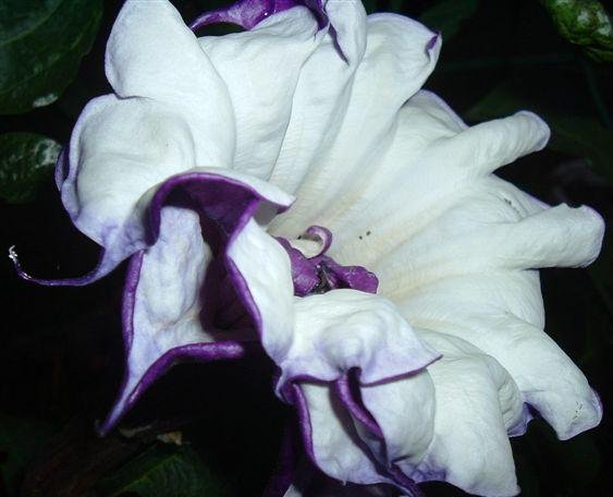 BULK - DATURA METEL double purple Devil's trumpet 250 seeds