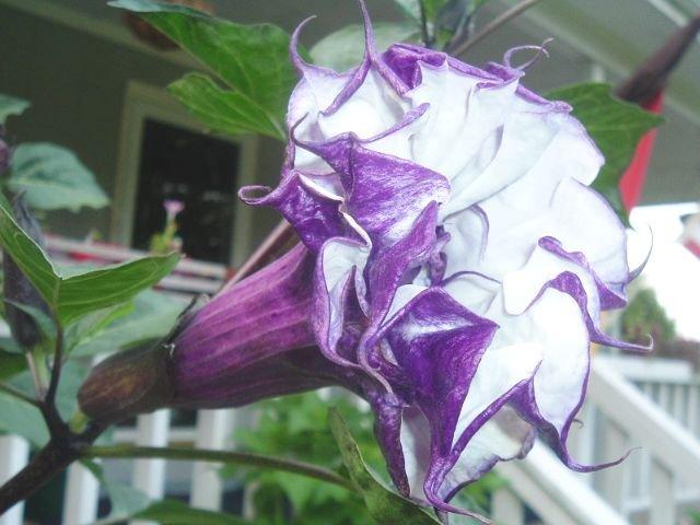 BULK - DATURA METEL triple purple Devil's trumpet 200 seeds