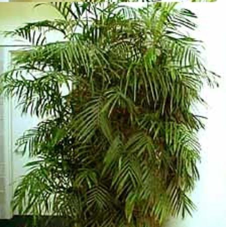 BAMBOO PALM CHAMAEDOREA SEIFRITZII 10 seeds