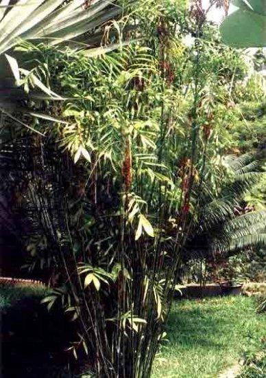 BULK - BAMBOO PALM CHAMAEDOREA SEIFRiTZII 100 seeds