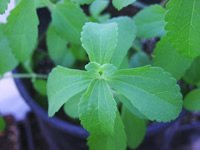 STEVIA not only a natural calorie free sugar 200+ seeds