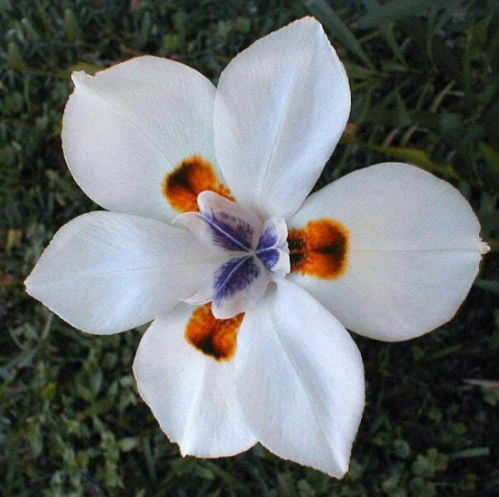 FORTNIGHT LILY AFRICAN IRIS DIETES VEGETA 10 seeds