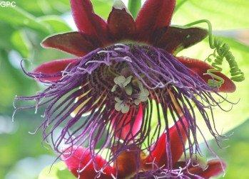 PASSIFLORA QUADRANGULARIS Giant Grenadilla passion vine 8 seeds
