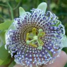 PASSIFLORA ACTINIA edible fruits rare 100 seeds