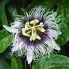 PASSIFLORA EDULIS sp. FLAVICARPA yellow fruit passion vine 10 seeds