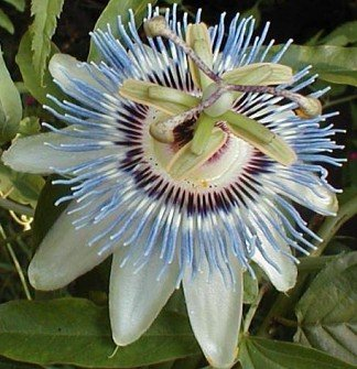 PASSIFLORA CEARULEA Passion vine 'Blue Crown'  10 seeds