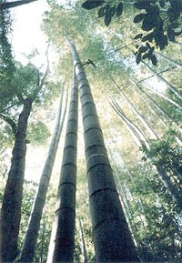 MOSO BAMBOO PHYLLOSTACHYS PUBESCENS 10 seeds