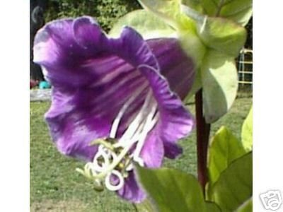 CATHEDRAL BELLS cup and saucer vine Cobea scandens 10 seeds