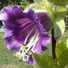 BULK - CATHEDRAL BELLS cup and saucer vine CANDEA SCANDENS 100 seeds