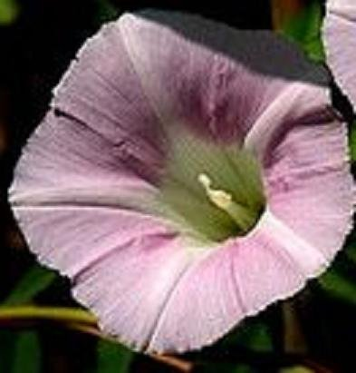 CONVOLVULUS SEPIUM Morning Glory pale pink 10 seeds