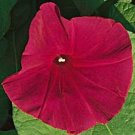 IPOMOEA NIL Morning Glory Scarlet o Hara All-America winner 50 seeds
