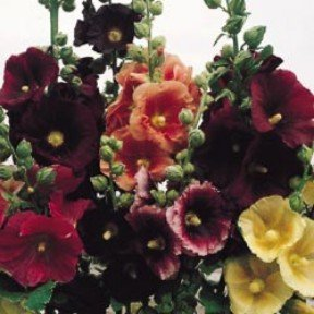 ALCEA ROSEA Hollyhock Pioneer mix garden favorite 15 seeds