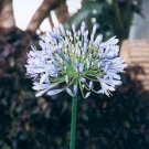 BLUE AFRICAN LILY   AGAPANTHUS AFRICANUS 10 seeds