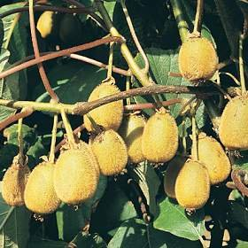 KIWI FRUIT   ACTINIDIA CHINENSIS 20 seeds