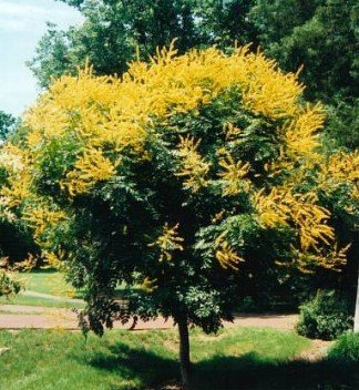 GOLDEN RAIN TREE KOELREUTERIA PANICULATA 10 seeds
